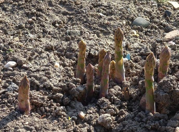 Asparagus Shoots growing in The  Walled Gardens at Croome